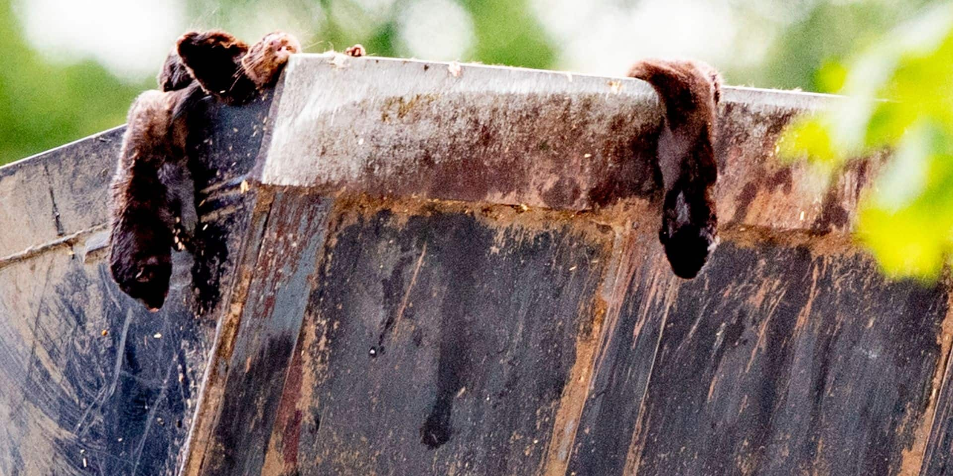 Au Danemark, des carcasses de visons enterrés en masse refont surface