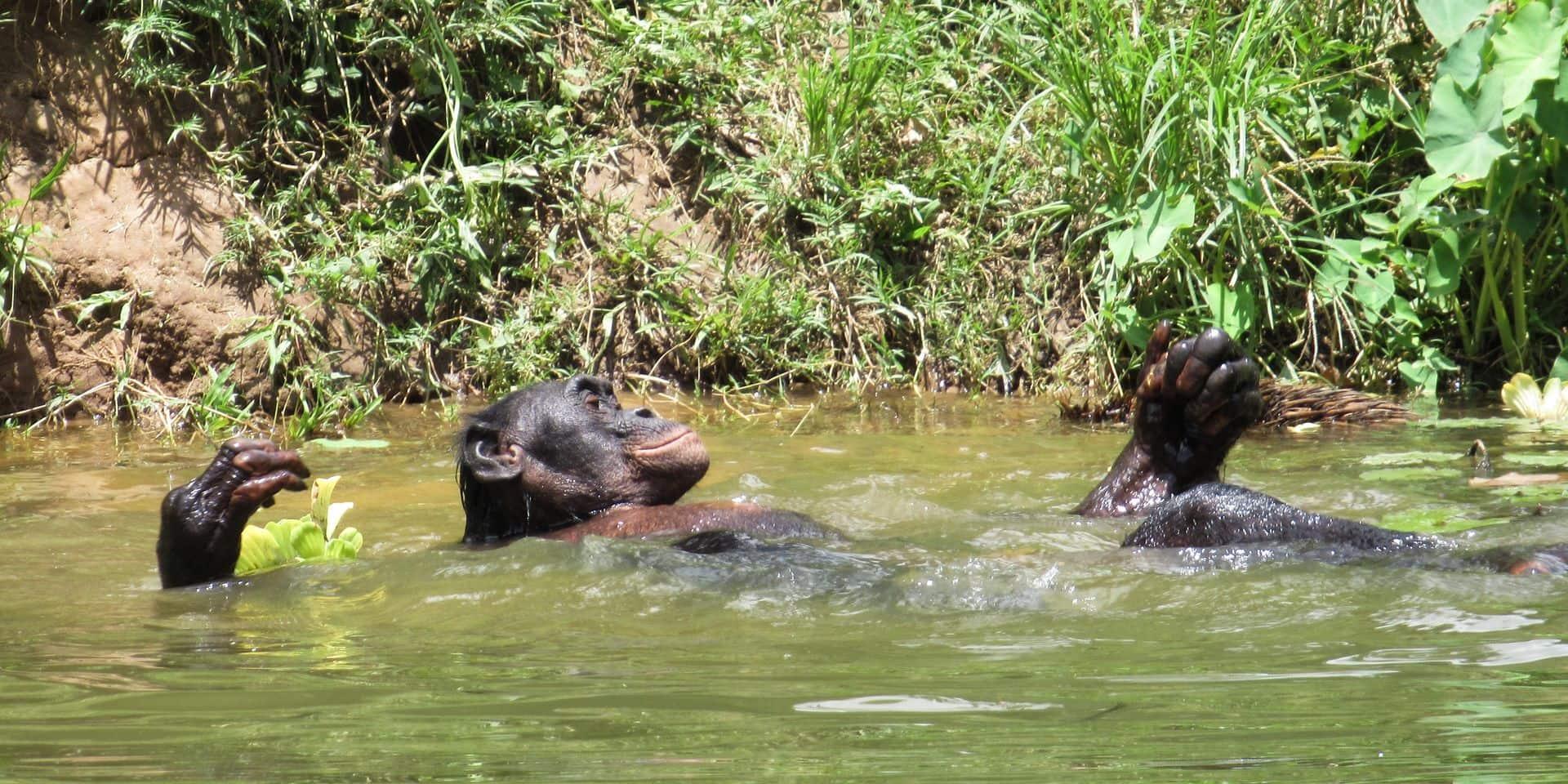 """En RDC, la Virunga menacée par un projet pétrôlier géant: """"40% de la population mondiale de bonobos"""""""
