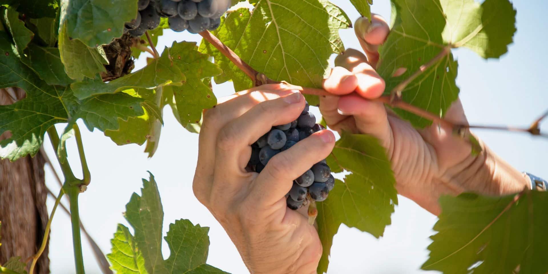 Du meilleur vin mais en moindre quantité avec le réchauffement climatique