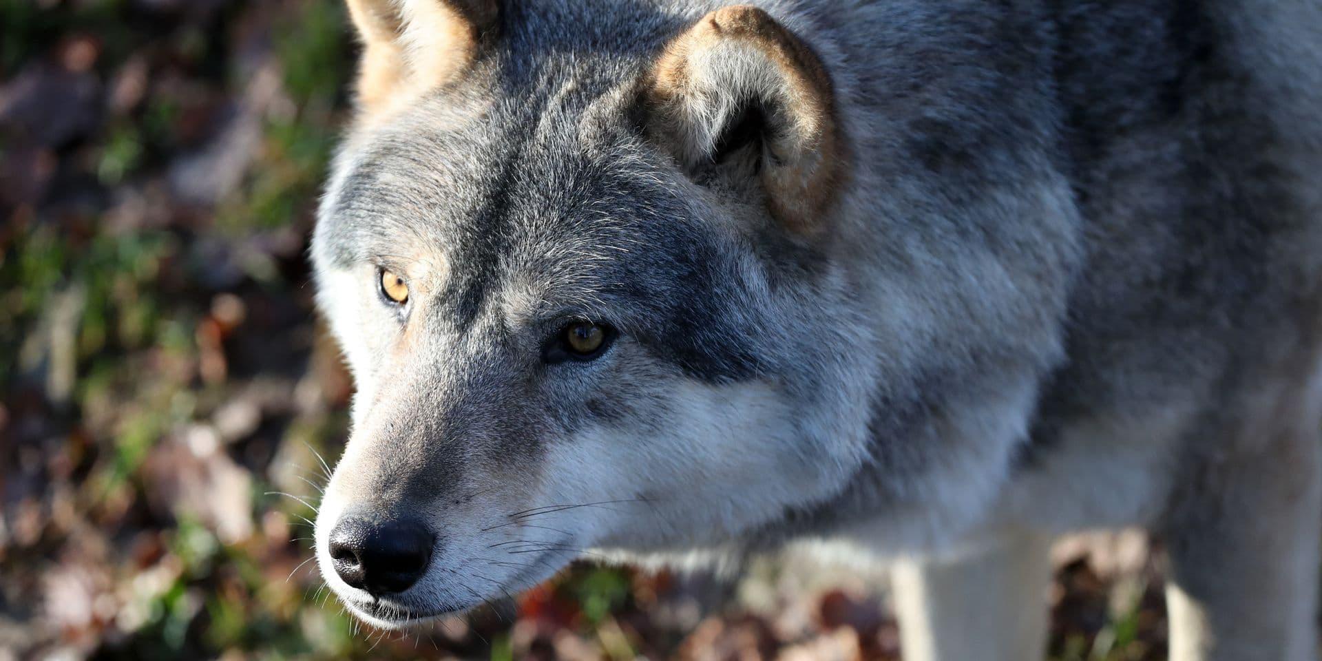 Le loup Billy a été renversé par une camionnette à Turnhout mais a survécu à l'accident
