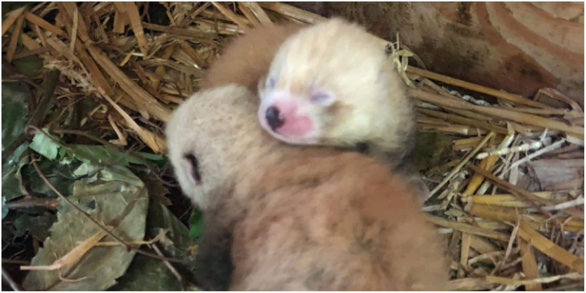 Pairi Daiza annonce la naissance de deux bébés pandas roux, une espèce protégée
