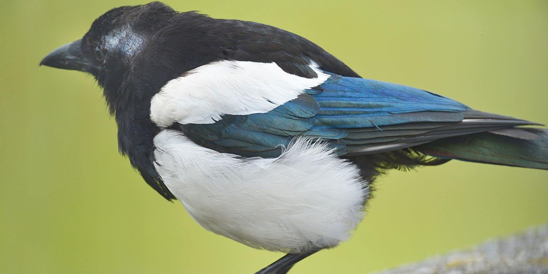 Natagora organise ce week-end son grand recensement d'oiseaux dans les jardins