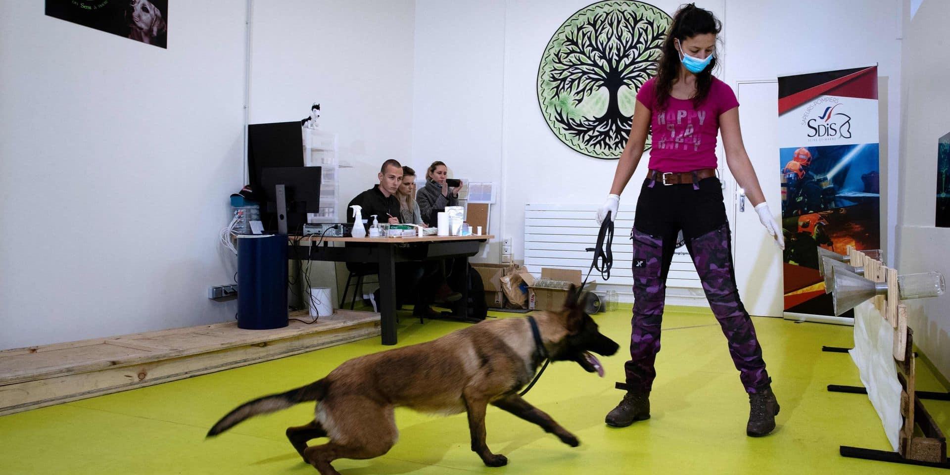 """Des chiens pour """"renifler"""" le Covid-19 dans le monde entier"""