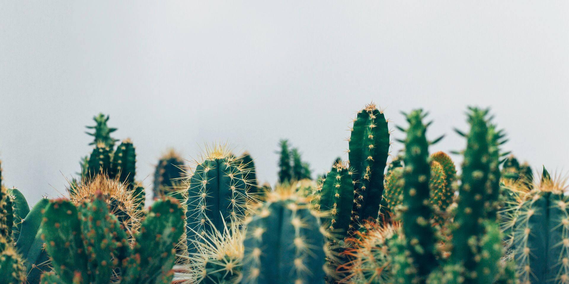 Comment le cactus est devenu la plante-déco dont tout le monde se pique