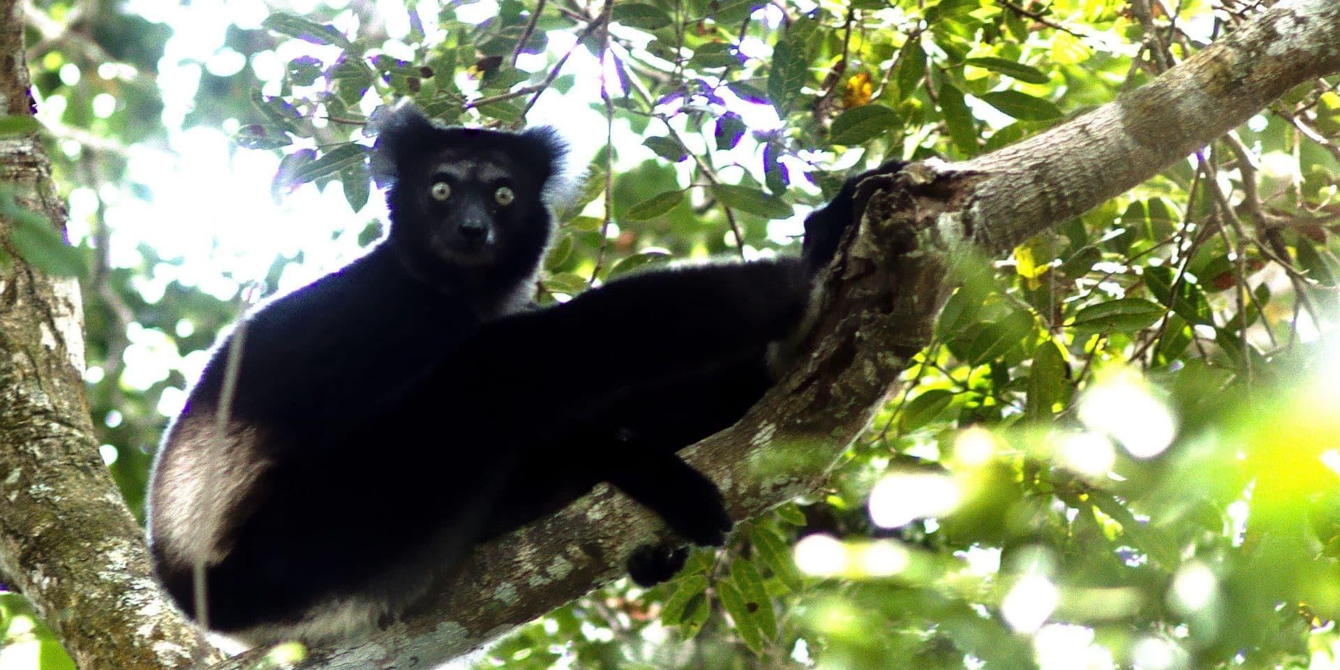 Naissance du premier lémur noir au zoo de Planckendael