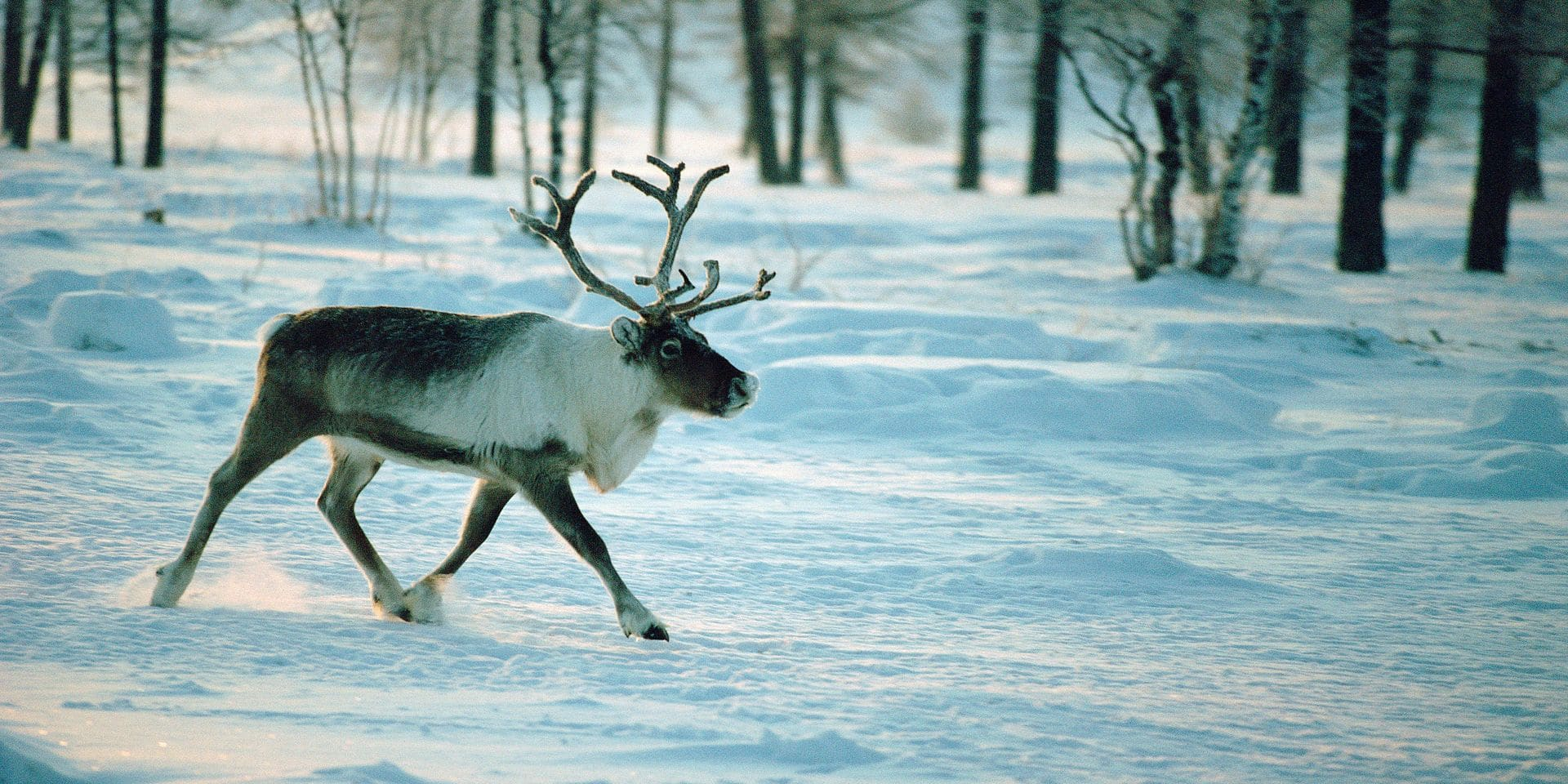 Bull reindeer trots through a clearing in the Boreal Forest. Yamal. Siberia. Russia.