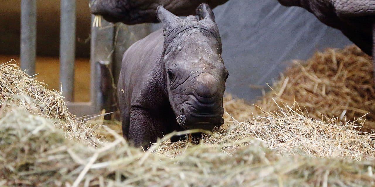 Un rhinocéros blanc est né à Pairi Daiza