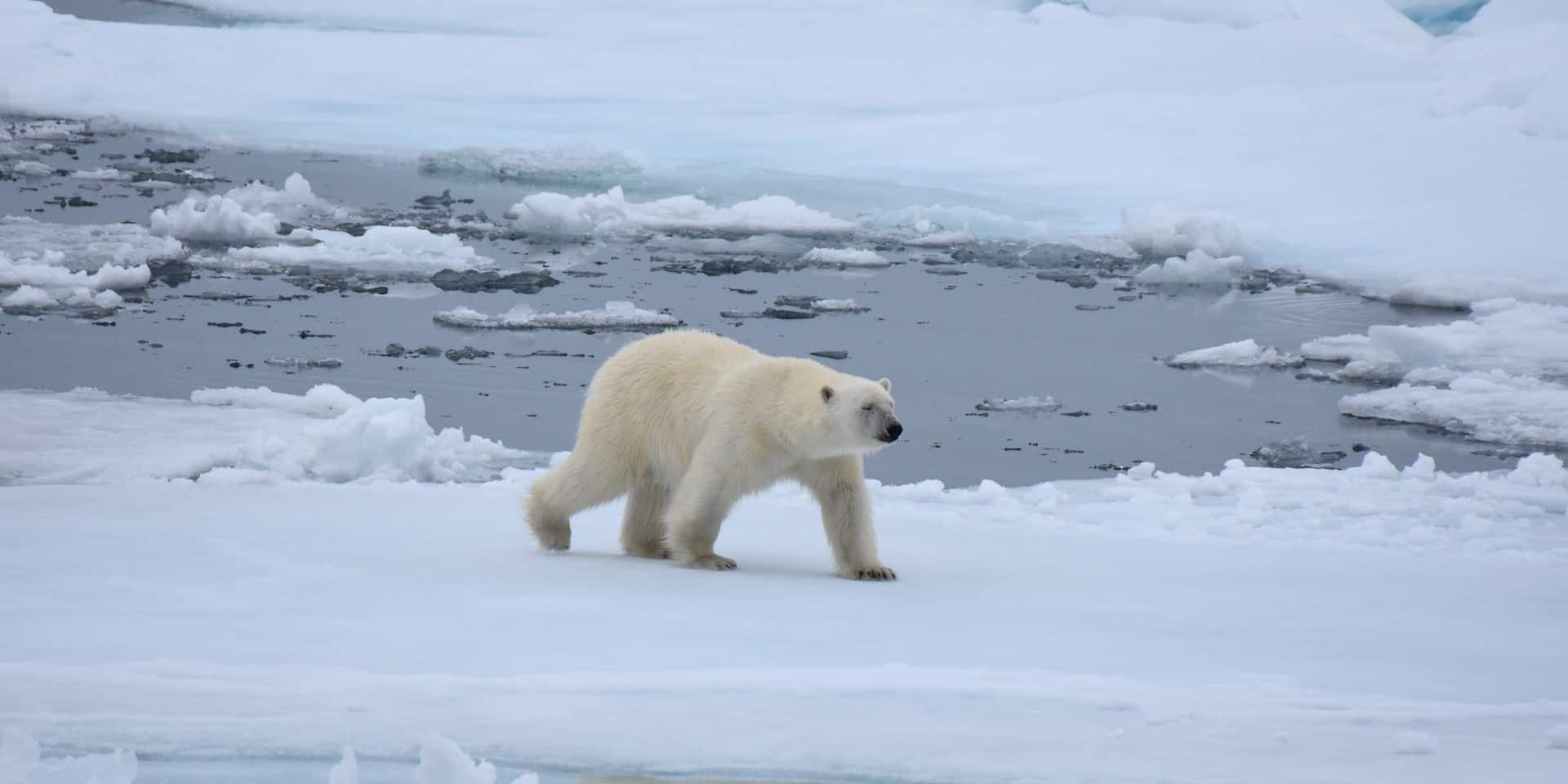 Une étude prévoit l'extinction des ours polaires d'ici 2100