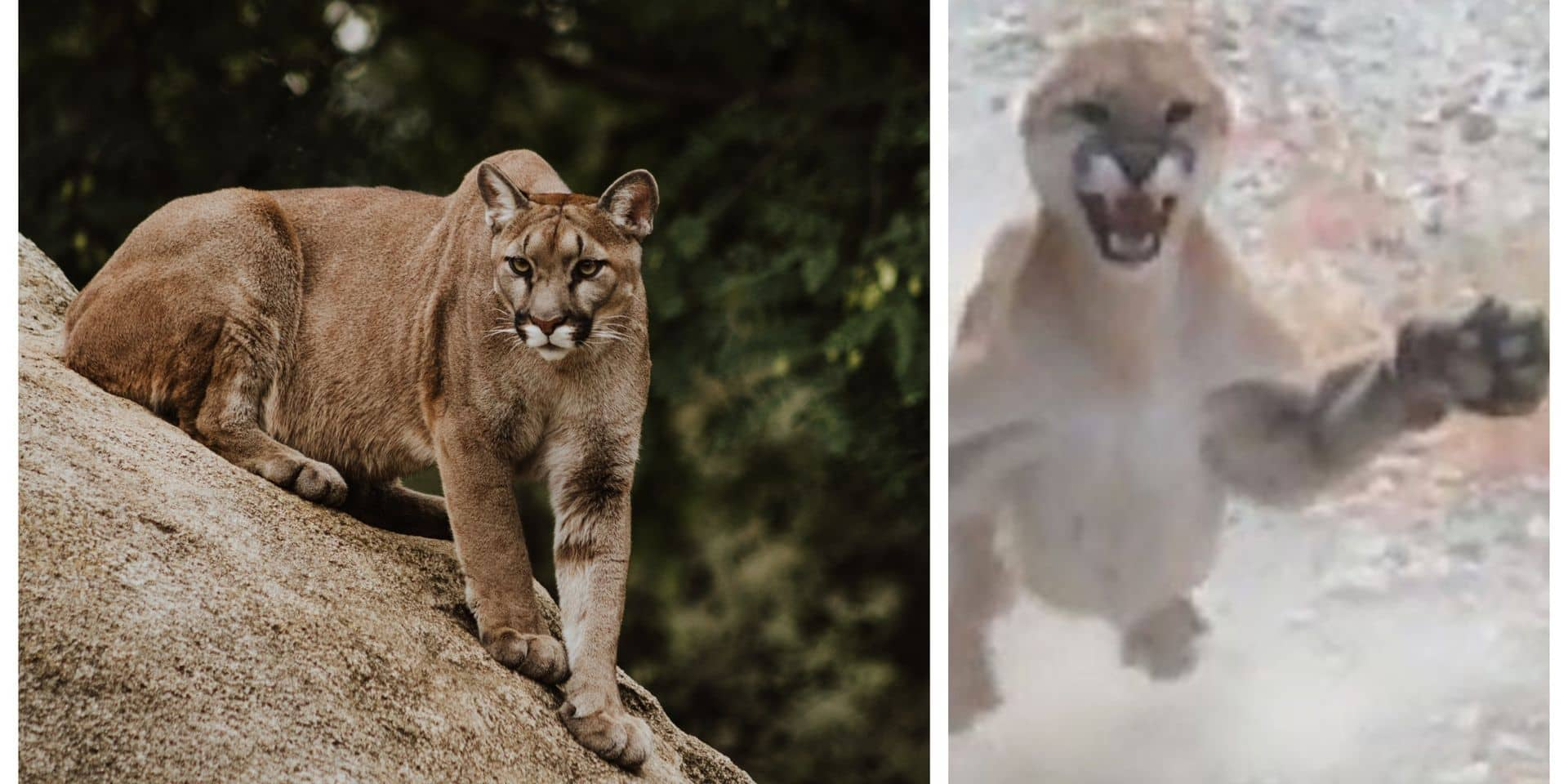Cette vidéo montre-t-elle vraiment une attaque de puma ?