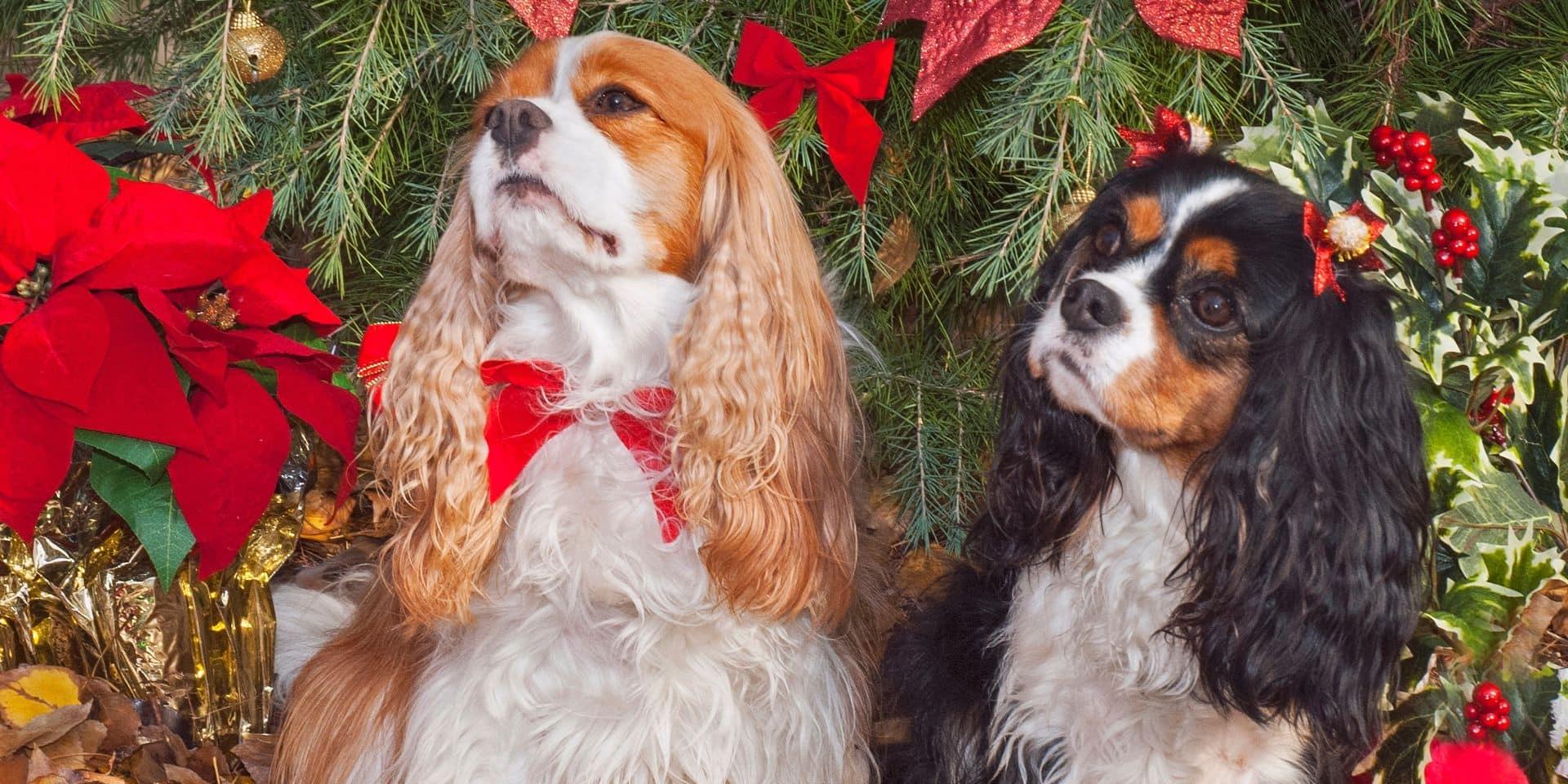 Propriétaires d'animaux, évitez les plantes de Noël