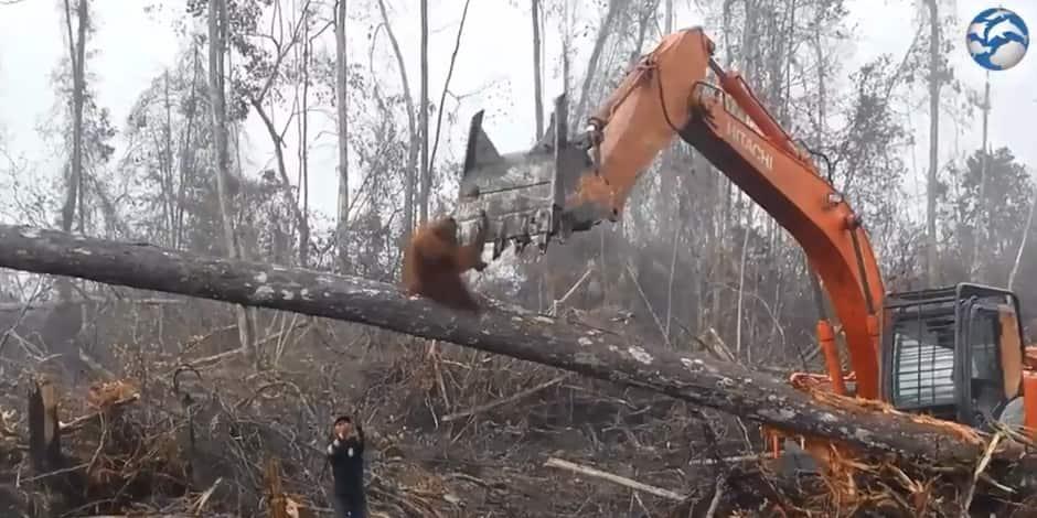 En Indonésie, un orang-outan sauvage tente de sauver sa forêt — Vidéo