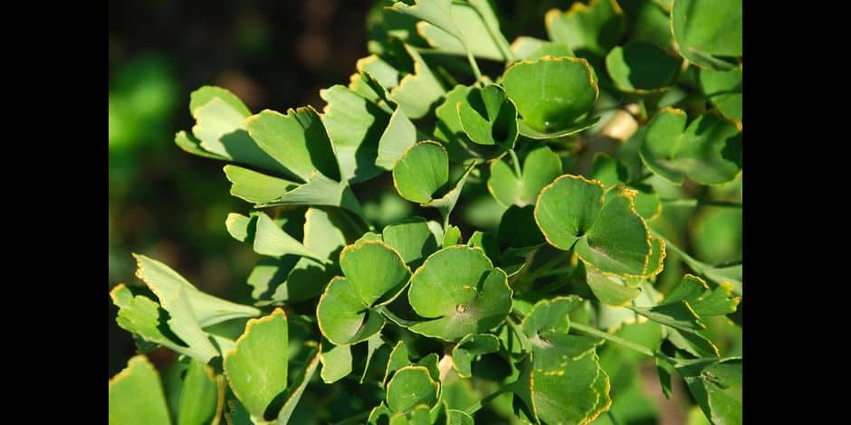 Un arbre unique: le Ginkgo biloba