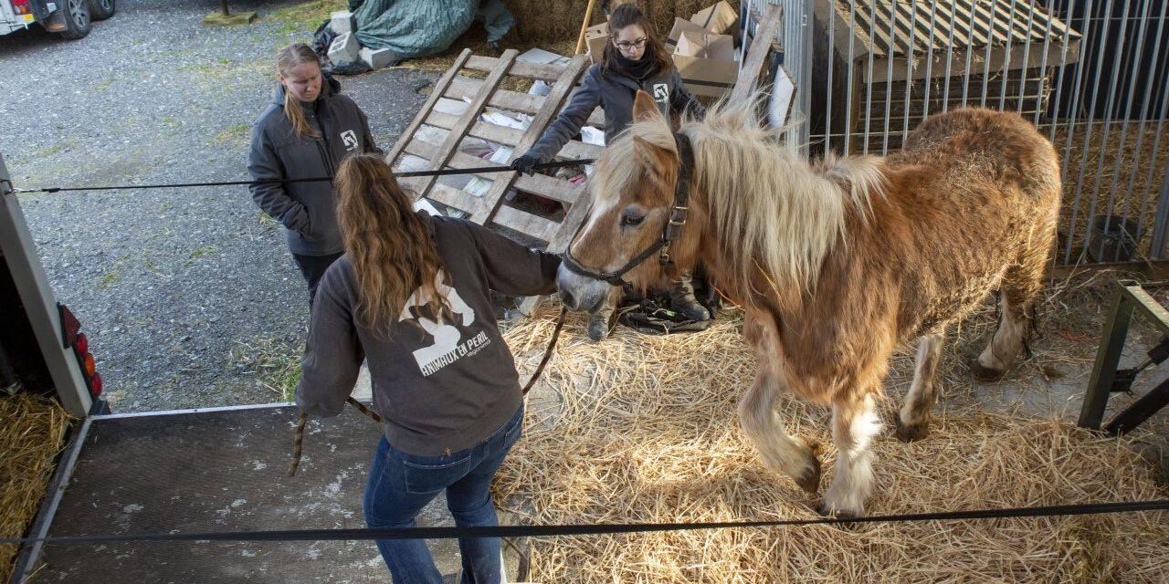 Cinq chevaux et deux vaches maltraités saisis à Jodoigne